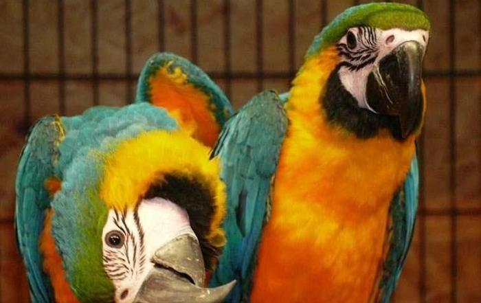 Afrykanka, Ararauna, oswojone, zako www.papugi.net.pl hodowla