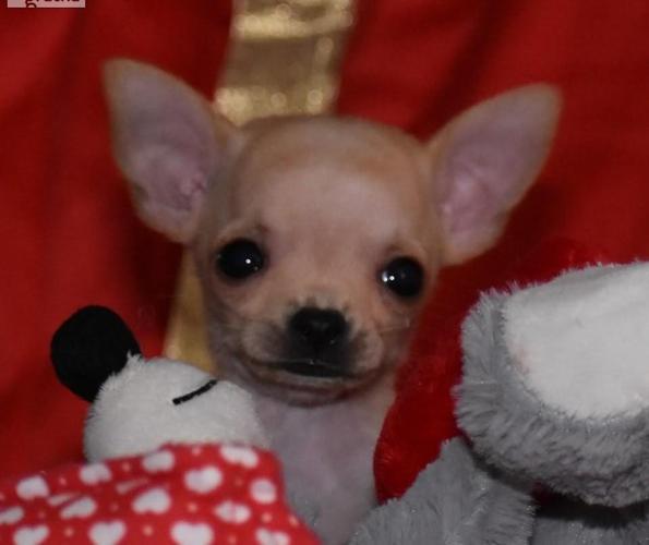 Chihuahua FCI -pierwsze szczenięta w Polsce po tych rodzicach Rodowód