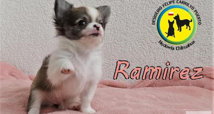Elitarne - Luksusowe Chihuahua pieski i suczki.Rodowód ZKwP. Rodowód