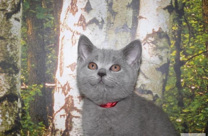 Kocięta brytyjskie niebieskie i liliowe Rodowód