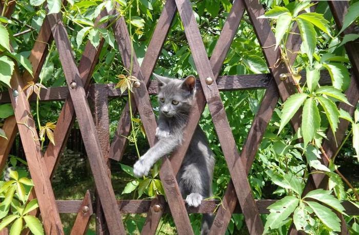 Kotek rosyjski niebieski