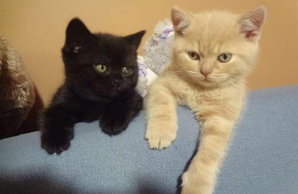 Nowoczesna architektura Koty kocięta brytyjskie -została kotka czarna, piękna i kochana TI55