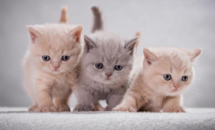 Koty,Kocięta brytyjskie z rodowodem FPL