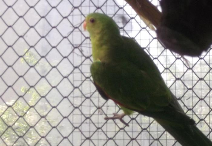 Papuga czerwonoskrzydła para