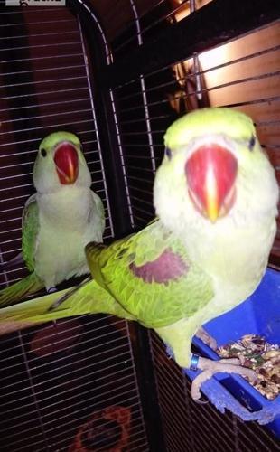 Papugi aleksandretta wieksza