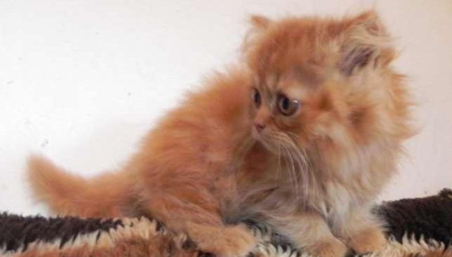 Ogromnie Piękne kociaki perskie, zachodniopomorskie, koszalin, koty pers PO04