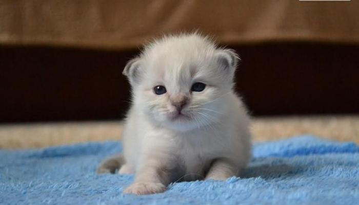 święty Kot Birmański śliczne Kocięta Z Rodowodem Rodowód Sprzedaż